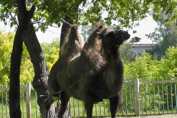 Верблюд в парке ДК ЖД в Новоалтайске