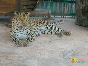 Дальневосточный леопард в Барнаульском зоопарке