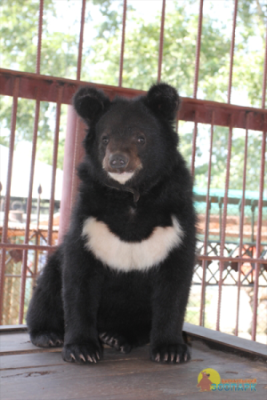 Гималайский медведь в Барнаульском зоопарке