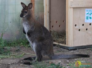 Кенгуру Беннета в Барнаульском зоопарке