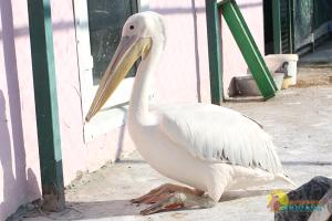Розовый пеликан в Барнаульском зоопарке