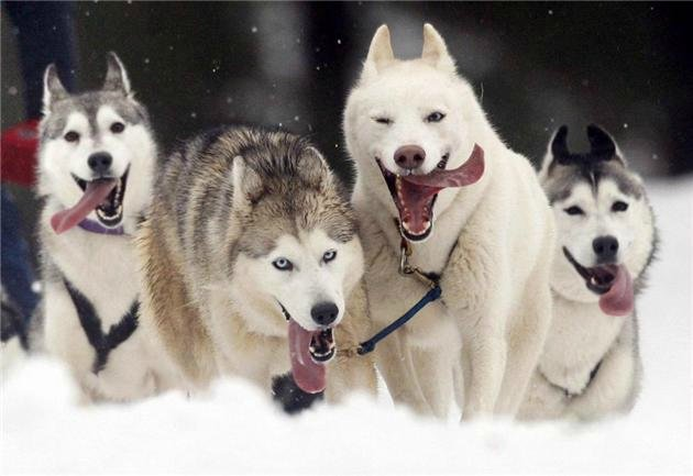 Гонки на собачьих упряжках  Стрела Ульгеня