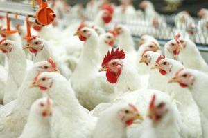 Граждане Украины будут работать на птицефабрике в Первомайском районе