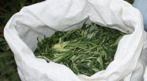 Житель Тальменского района заготовил на зиму девять килограммов марихуаны